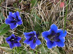 blühender blauer Enzian im Lechtal.