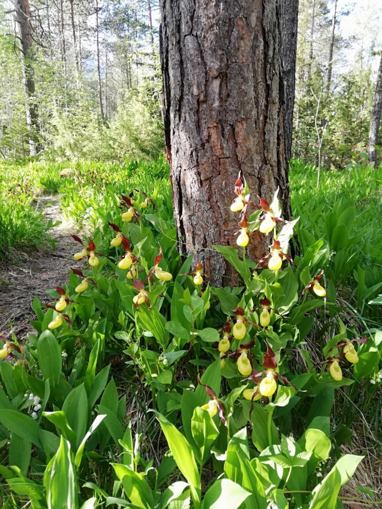 Orchidee im Naturpark Lechtal, der Frauenschuh